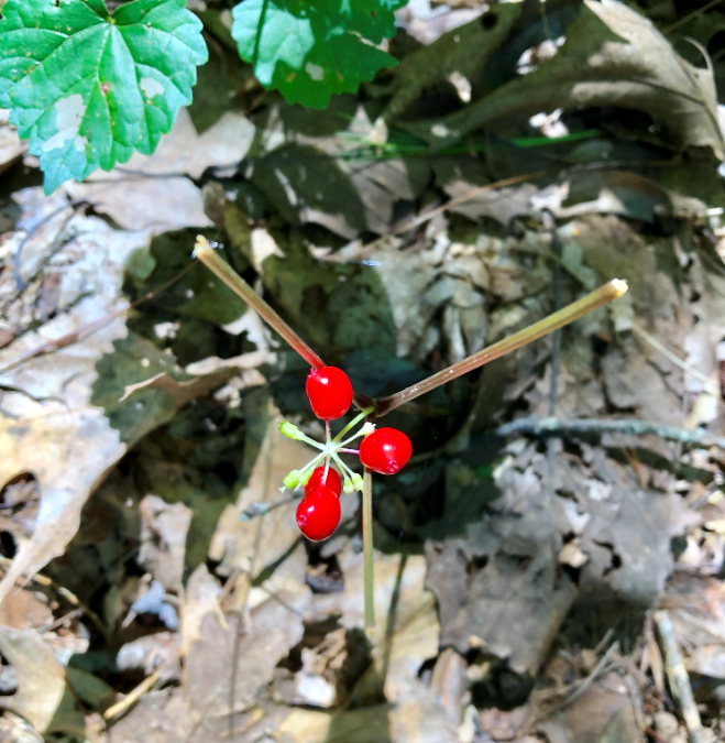 Romancing The Root: The Passions and Perils of Wild American Ginseng