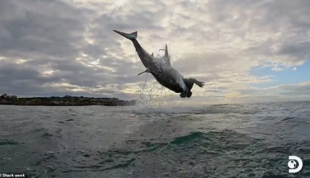 Great White Shark Breach in South Africa